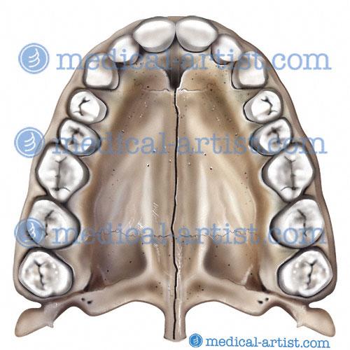 Oral Region Medical Illustrations   Mouth Anatomy   Tongue Anatomy ...
