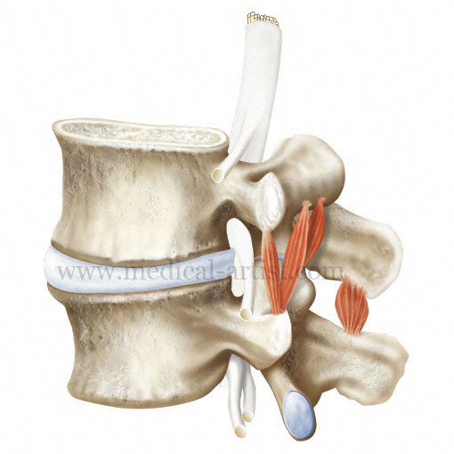 L4 and L5 Vertebrae Illustrations showing various positions ...