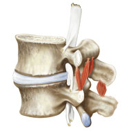Lumbar vertebrae L4 and L5 and relating muscles under compression