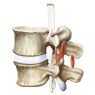 normal anatomy of lumbar vertebrae L4 and L5 with relating muscles