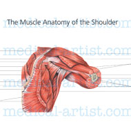 Exercise increases the muscle of the shoulder