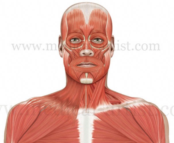 Anatomy Of The Head And Neck Medical Illustrations Showing The