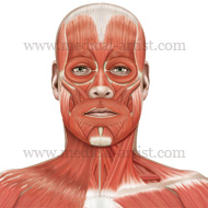 Opinion you facial anatomy diagram speaking the