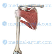 Each muscle originates on the scapula and inserts into the humerus