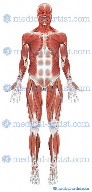 Anatomy Body Medical Diagrams Online Schematic Diagram