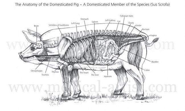 Veterinary illustrations illustrations of animal anatomy pig anatomy of the female pig ccuart Gallery