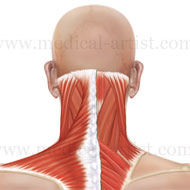 Anatomy of neck region posterior view of the muscles