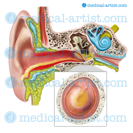 Anatomy of the ear with otitis externa