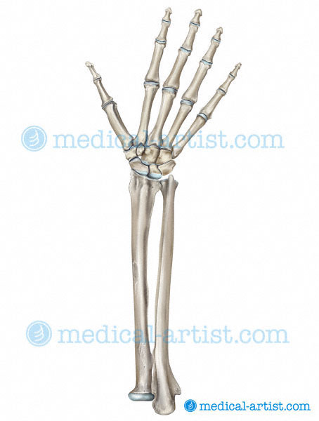 Medical Illustrations Of The Human Hand Fingers And Thumb From