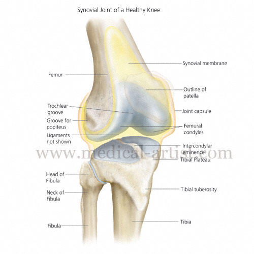 Knee and related knee anatomy images and medical illustrations anatomy of the knee showing patella fibia and tibula knee with synovial membrane ccuart Choice Image