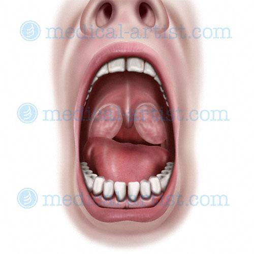 Oral Region Medical Illustrations | Mouth Anatomy | Tongue Anatomy ...