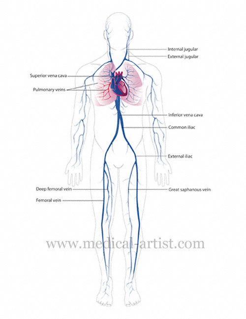 Medical Illustrations Of The Vascular System Circulatory System
