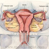 Uterus and surrounding anatomy