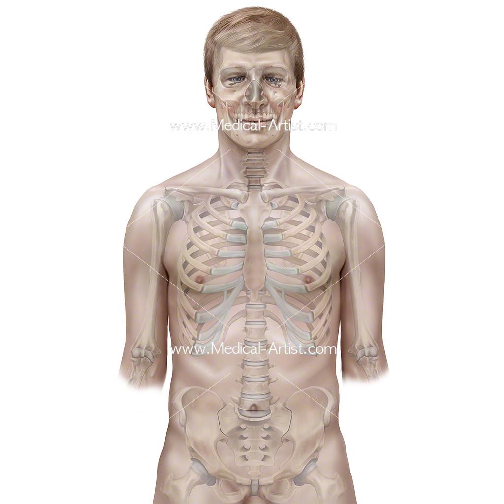 Skeleton Illustrations Medical Illustrations Of The Skeletal