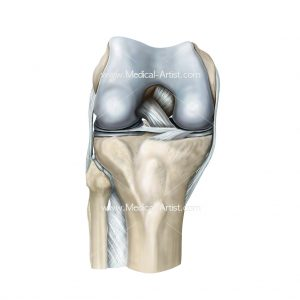 Knee in flexion anterior view