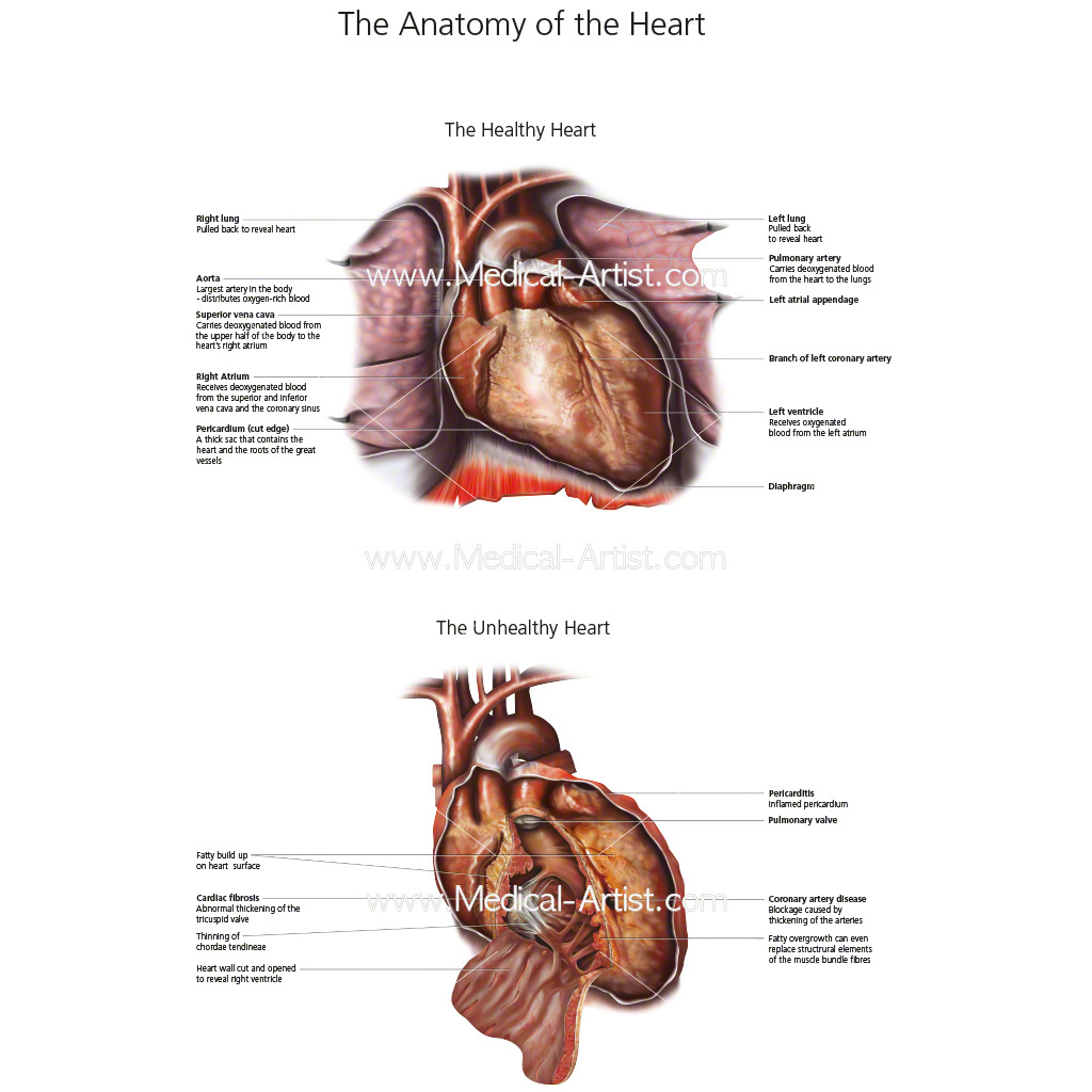 Heart anatomy created in Photoshop