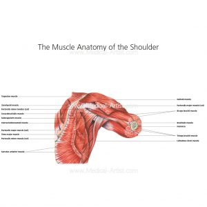 Watercolour painting of the muscles of the shoulder