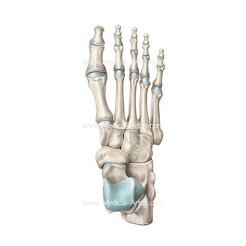 Bones of the Foot Illustrations & Foot Anatomy Illustrations