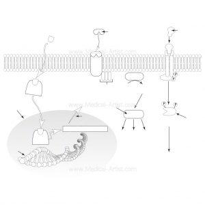 Cellular action of hormones diagram