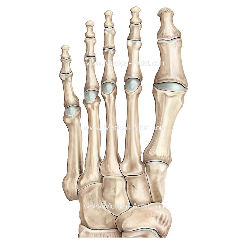 Bones of the Foot Illustrations & Foot Anatomy Illustrations
