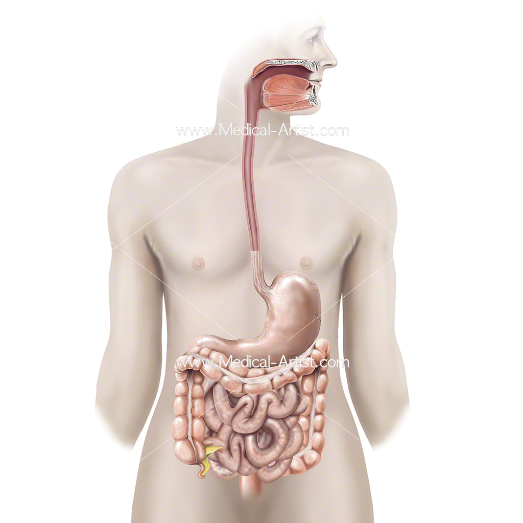 Healthy gastrointestinal tract in an adult male