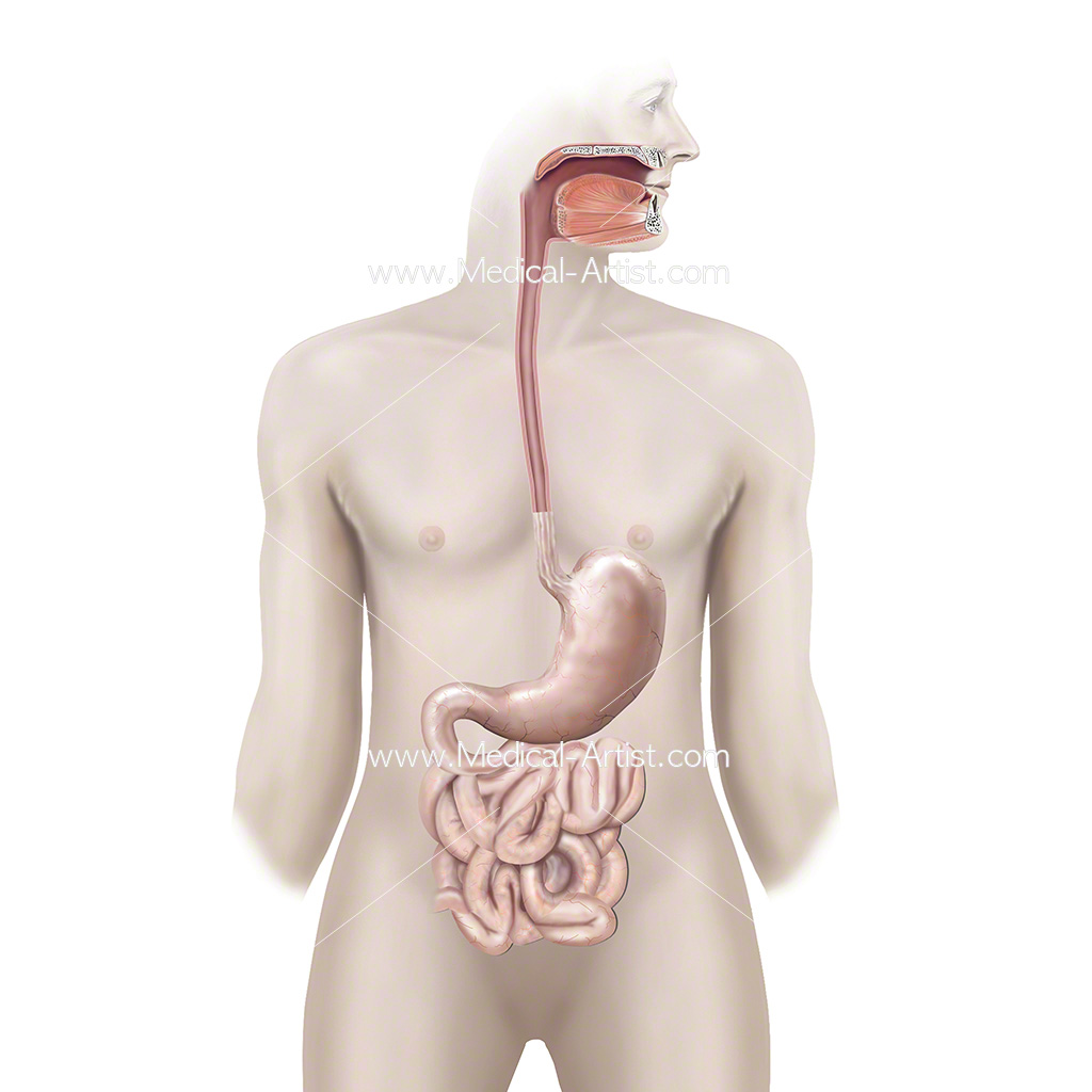 Healthy oesophagus, stomach and small intestine anatomy