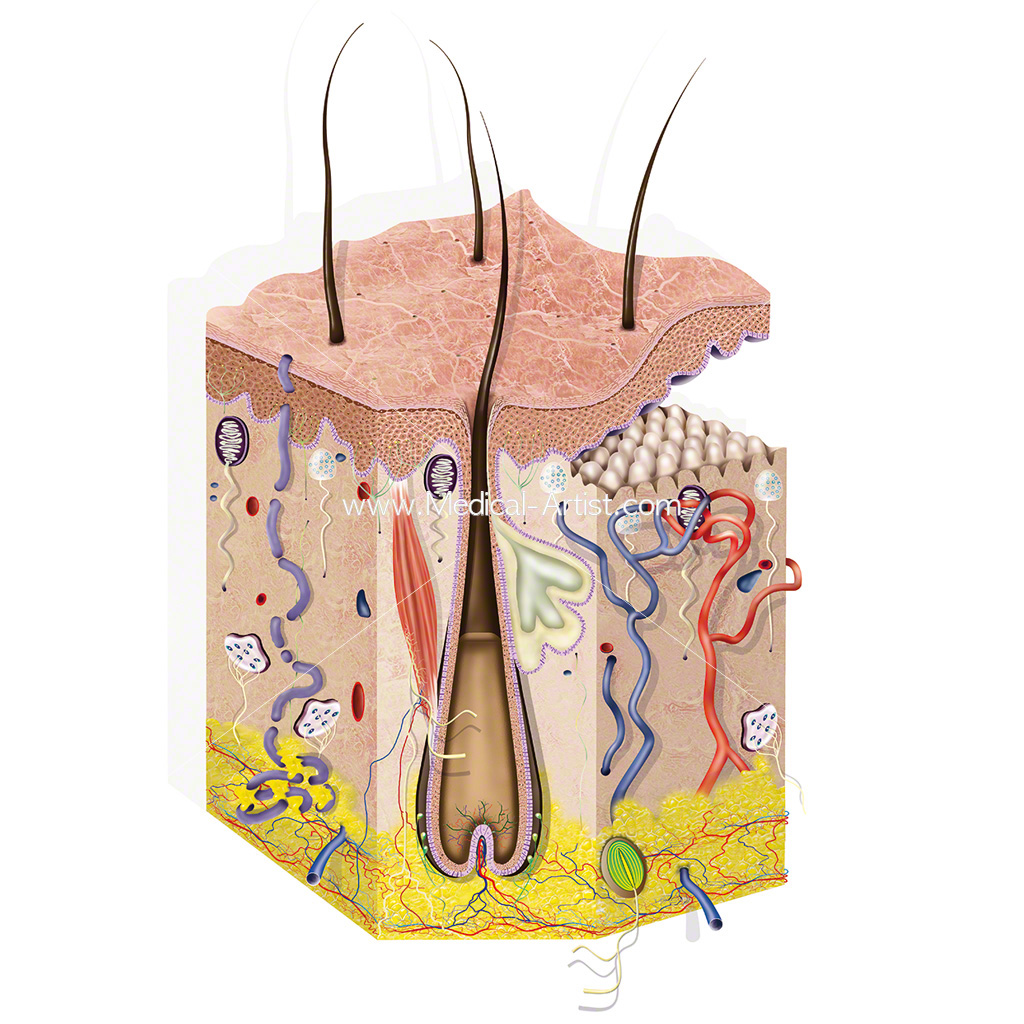 Cross-section of the anatomy of healthy skin