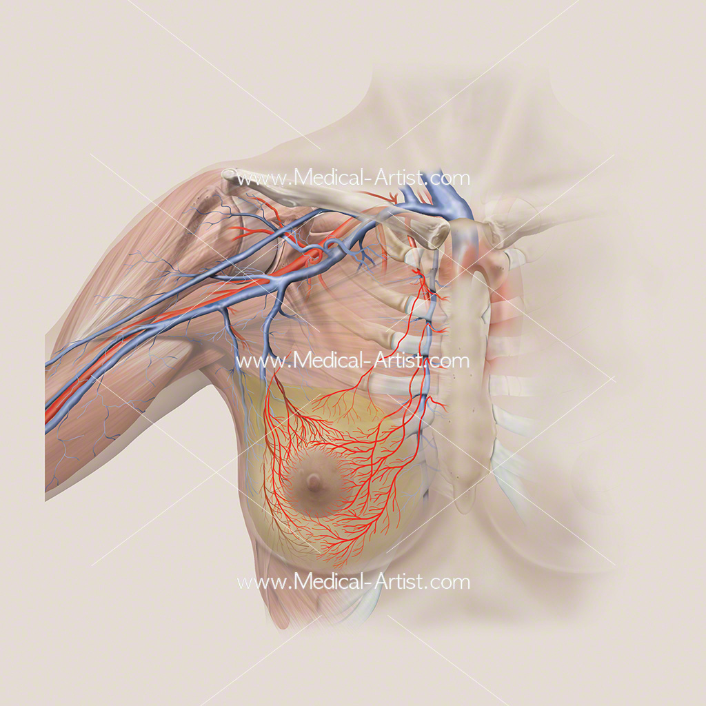 Arterial anatomy and breast tissue illustration