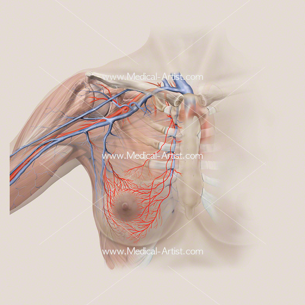 Arterial anatomy around the breast and shoulder