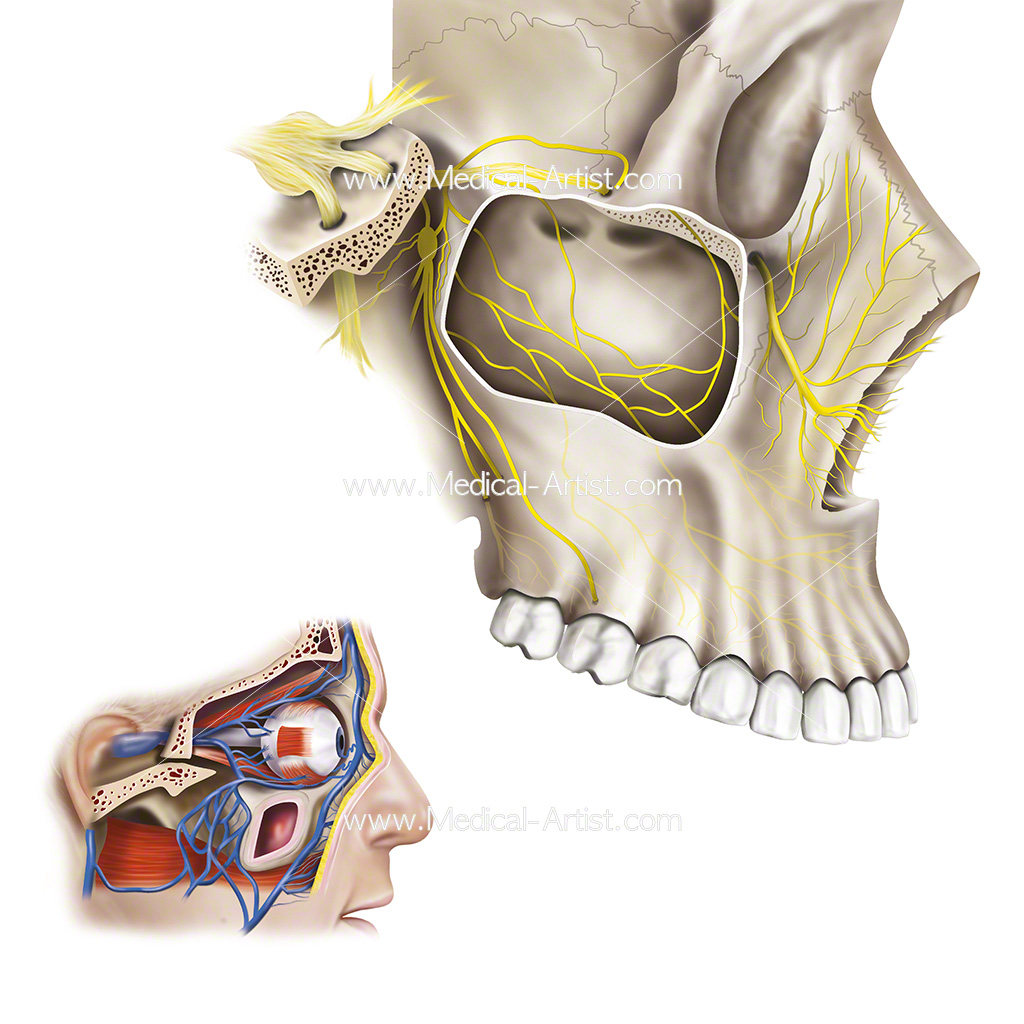 Medical illustration of facial nerves and other local anatomy