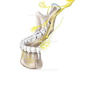 Illustration of the nerves for and around the teeth of the mandible