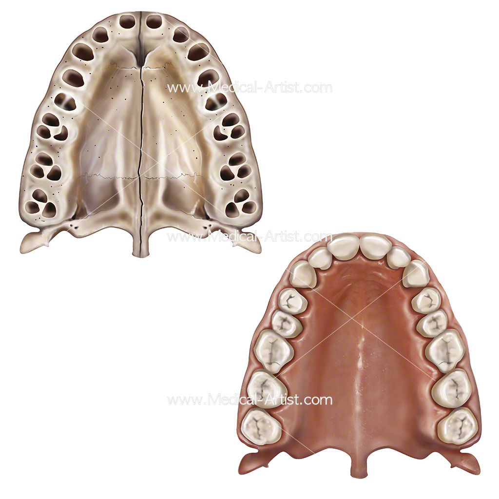 Maxillar bone and teeth