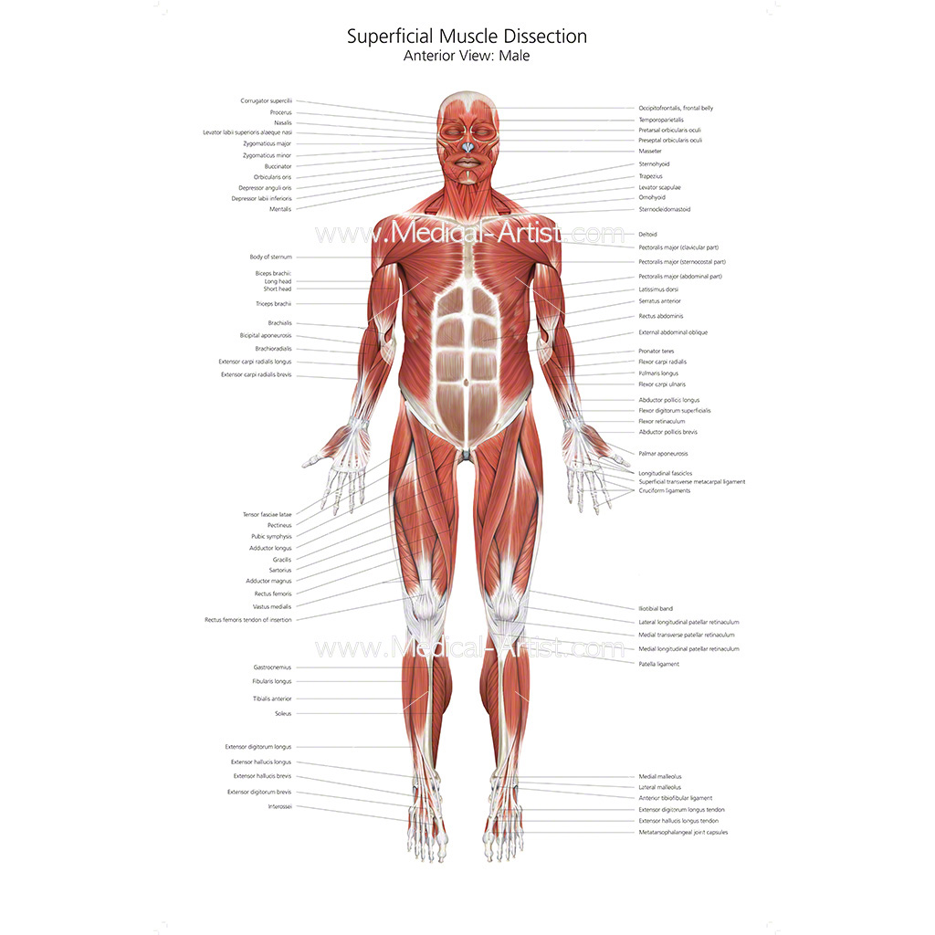 Muscular System Medical Illustrations Ready To Create And License
