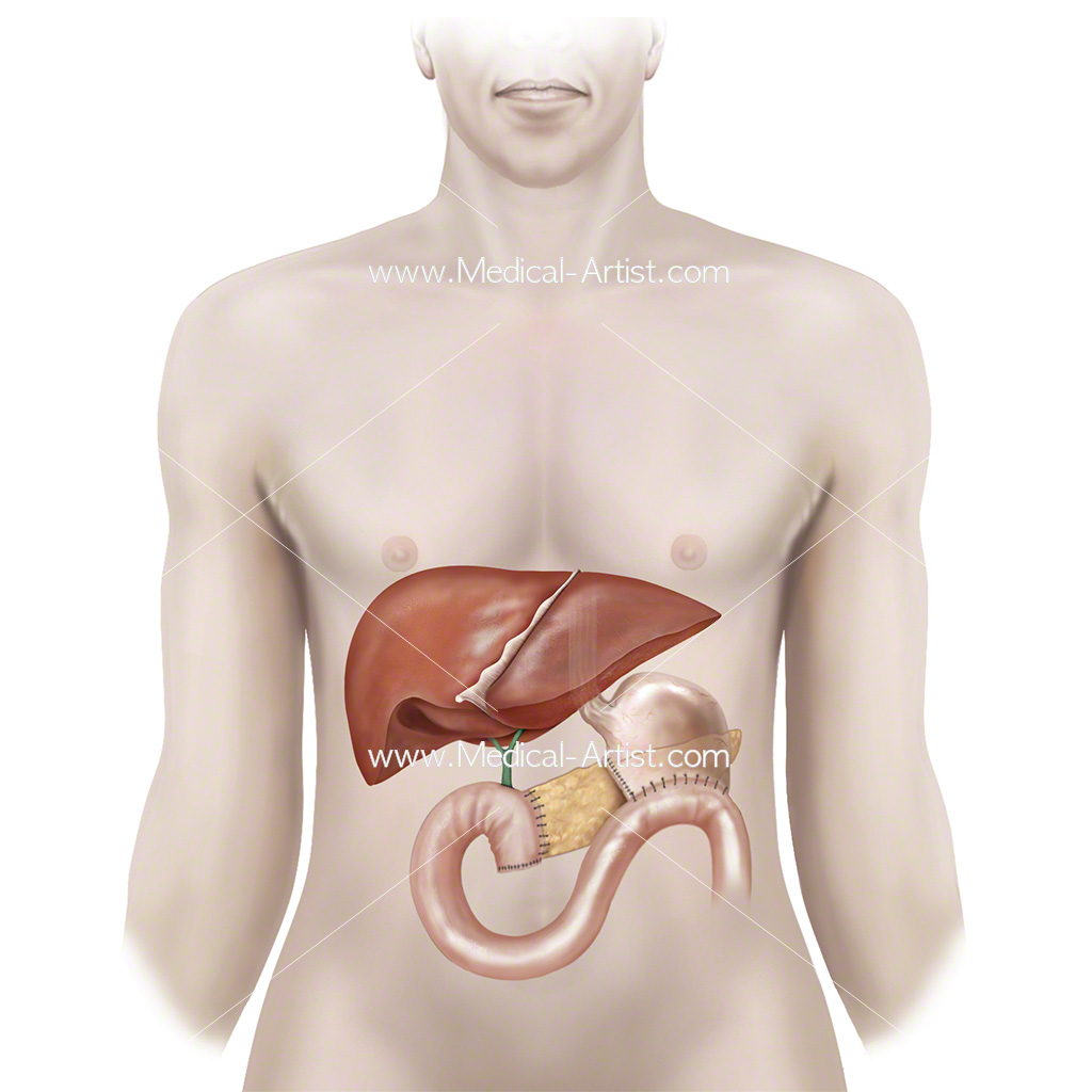 Digestive System Illustrations | Stomach, Intestines & Related Anatomy