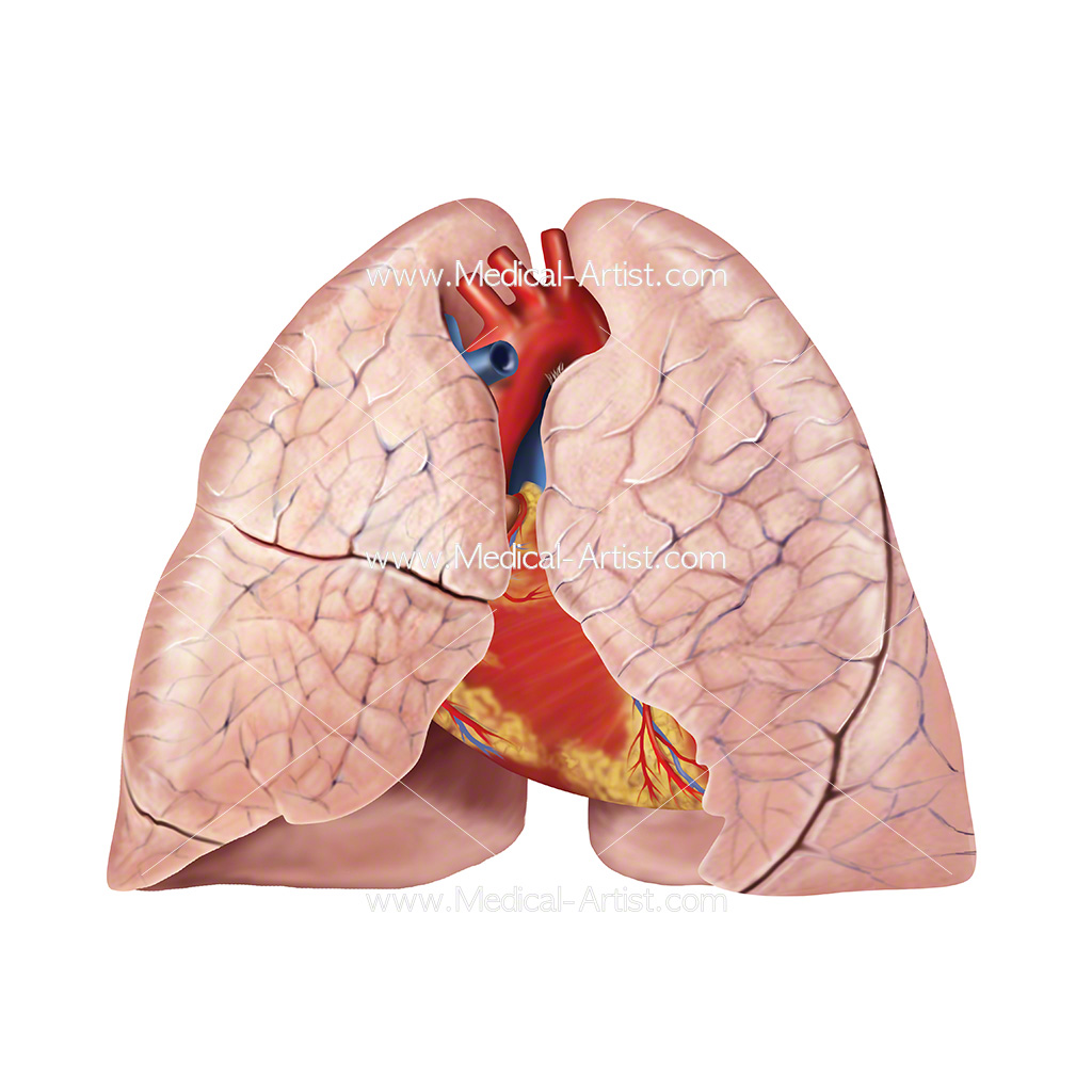 Illustration of the human heart and lungs