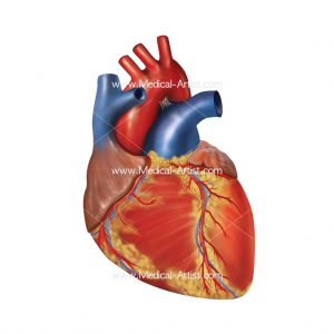 Heart medical illustrations heart anatomy human heart anatomy the heart is a muscular organ and is made up of the four chambers and four valves there are two upper chambers called the left and right atria and two ccuart Choice Image