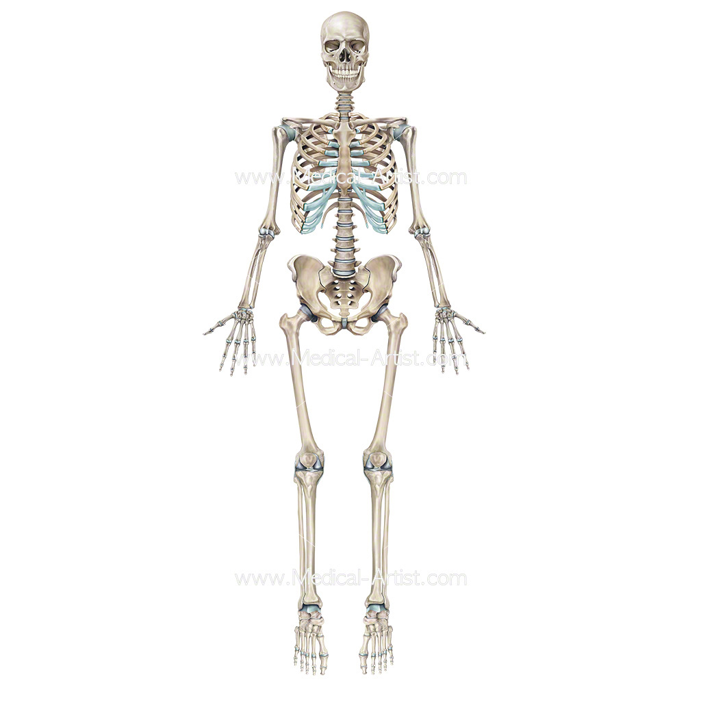 skeleton illustrations | medical illustrations of the skeletal, Human Body