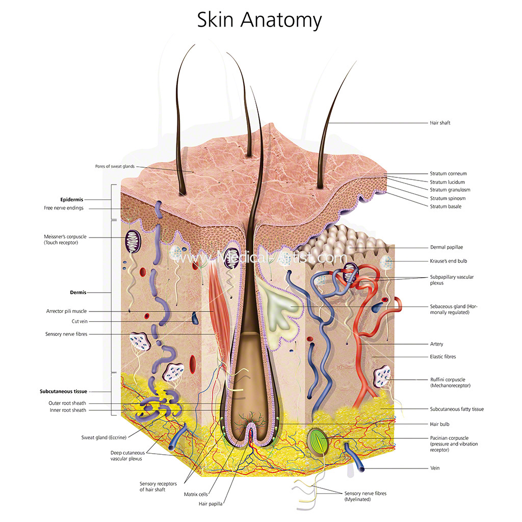 Skin Illustrations Skin Anatomy Created By Qualified Medical