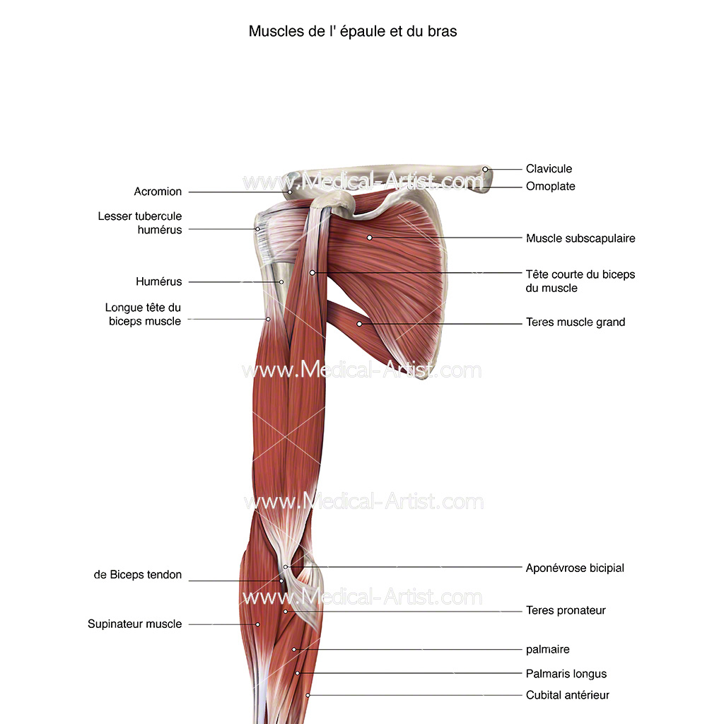 Digital illustration of shoulder and arm muscles labelled in french - muscles de l' épaule et du bras