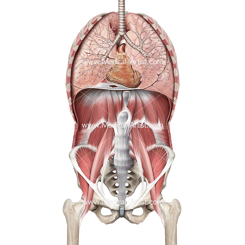 Ventral cavity showing the heart and lungs