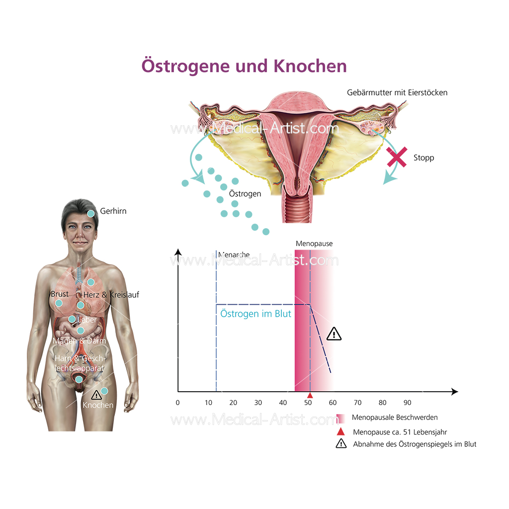 Oestrogen graph including uterus illustration