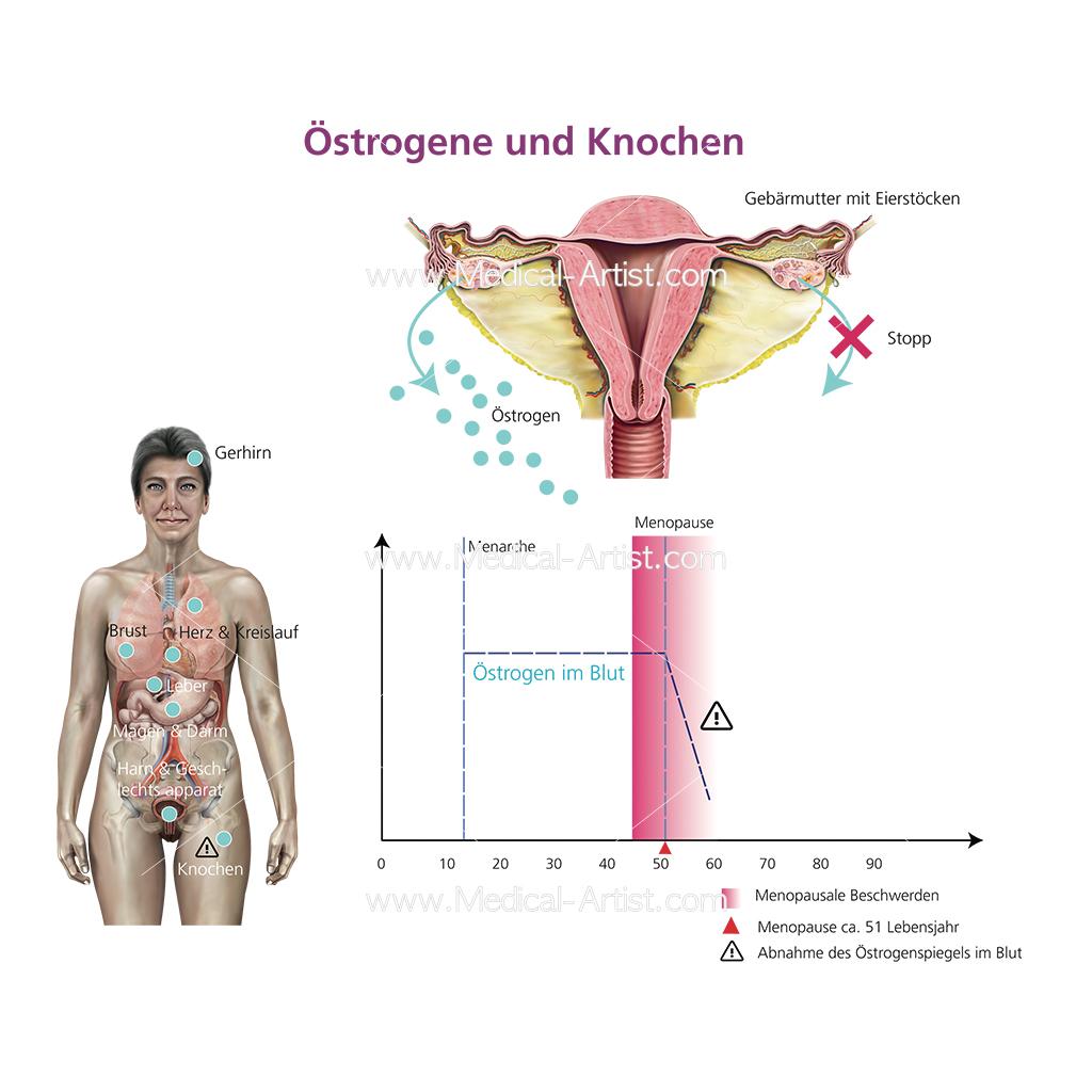 Oestrogen graph including uterus illustration