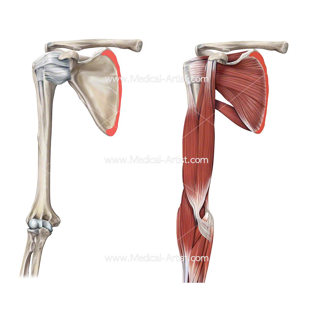 Skeleton Illustrations | Medical Illustrations of the ...