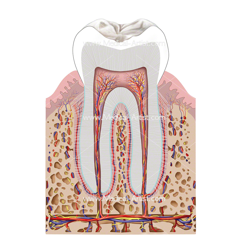 Cross section of human tooth anatomy showing a molar including the blood supply to the tooth