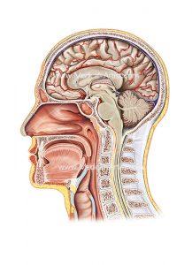 ENT in midsagittal cross section