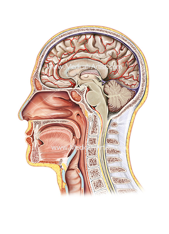 Throat and mouth anatomy images human anatomy ent in midsagittal cross section watercolour medical illustration ccuart Gallery