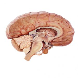 water colour illustration of the brain