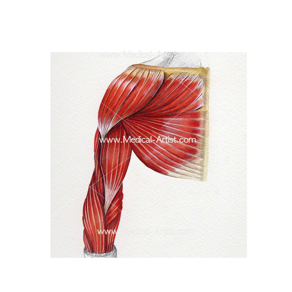 Muscles of the upper limb painted in watercolour