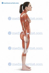 muscular image medical illustration by joanna culley