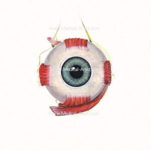 Watercolour of anterior view of the eye
